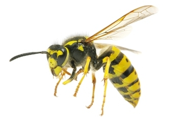 Image of an adult wasp